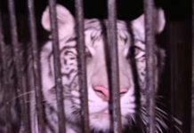 tigri abandonați
